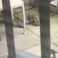 The hawk in Emilys backyard